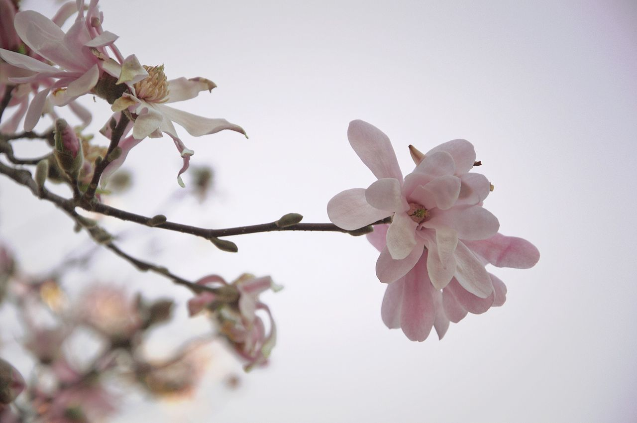 flower, fragility, blossom, beauty in nature, branch, tree, springtime, freshness, growth, apple blossom, nature, petal, apple tree, cherry tree, botany, no people, flower head, white color, orchard, twig, pink color, day, plum blossom, close-up, clear sky, outdoors, blooming, sky