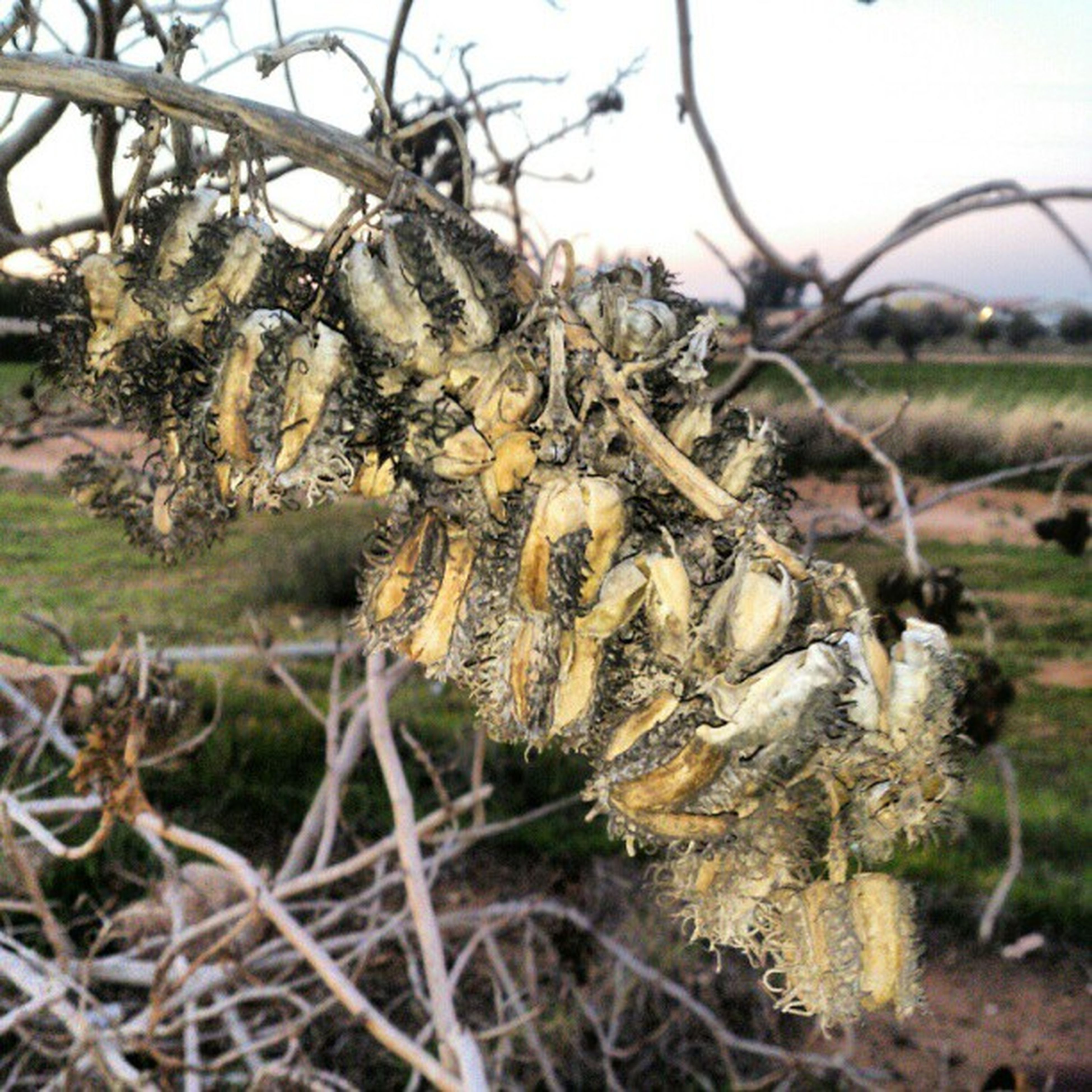 focus on foreground, growth, close-up, nature, plant, field, dry, spiked, cactus, thorn, tranquility, day, sky, dried plant, dead plant, outdoors, selective focus, agriculture, beauty in nature, no people