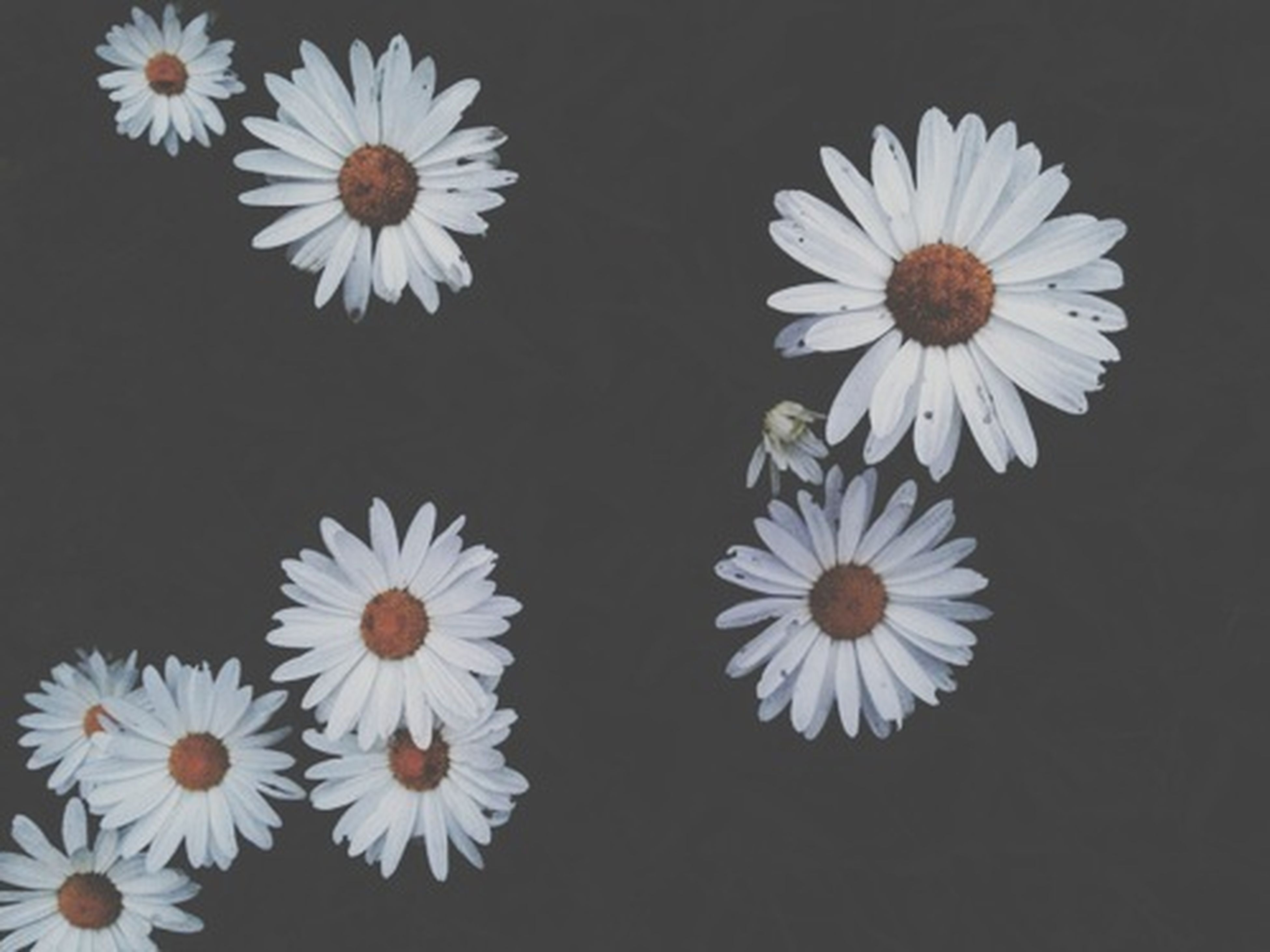 flower, petal, freshness, fragility, flower head, white color, high angle view, daisy, indoors, beauty in nature, pollen, close-up, table, nature, no people, directly above, plant, blooming, growth, still life