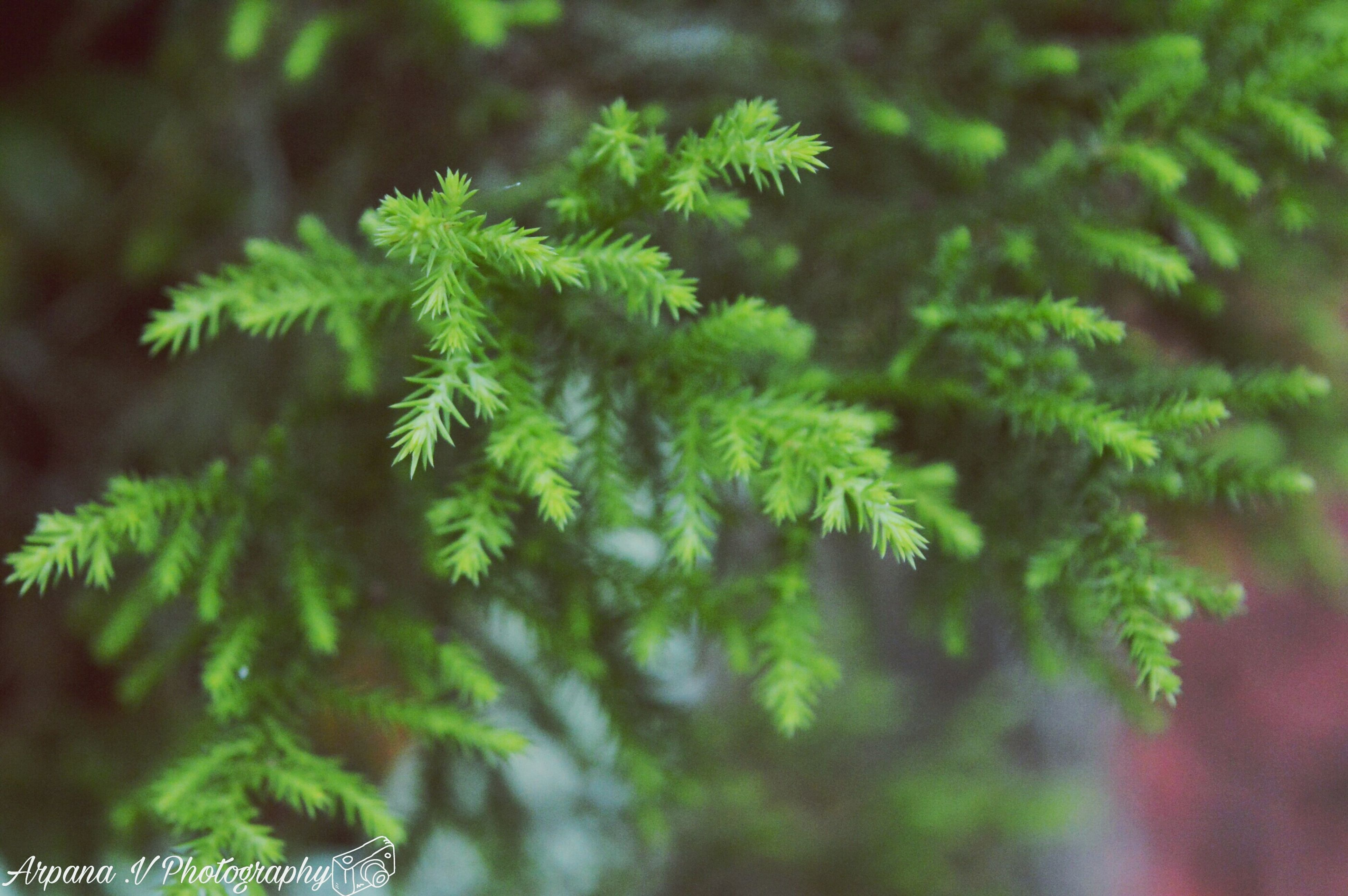 green color, nature, tree, branch, beauty in nature, growth, close-up, winter, fir tree, lush foliage, plant, leaf, needle - plant part, no people, spruce tree, coniferous tree, forest, outdoors, biology, day, cannabis plant