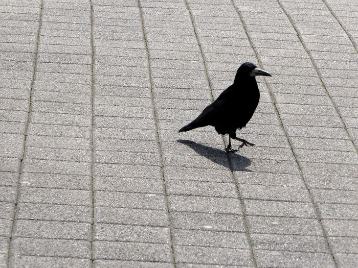 I'm Sexy And I Know ItSimple Beauty Rook In The City Saatkrähe Enjoying The Sun Animals In The Wild My Favorite Crows🤗 Raven - Bird Shadows And Light Celebrate The Little Things Eye4photography  Springtime💛 For My Friends 😍😘🎁 Zoom ♡ Captured The Moment Birds Of EyeEm  Crowlovers