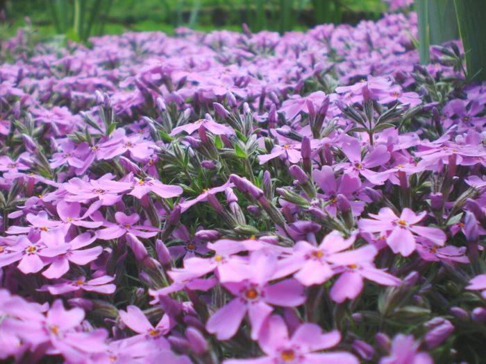 Village Flowers Violet Outdoor Nature Created God