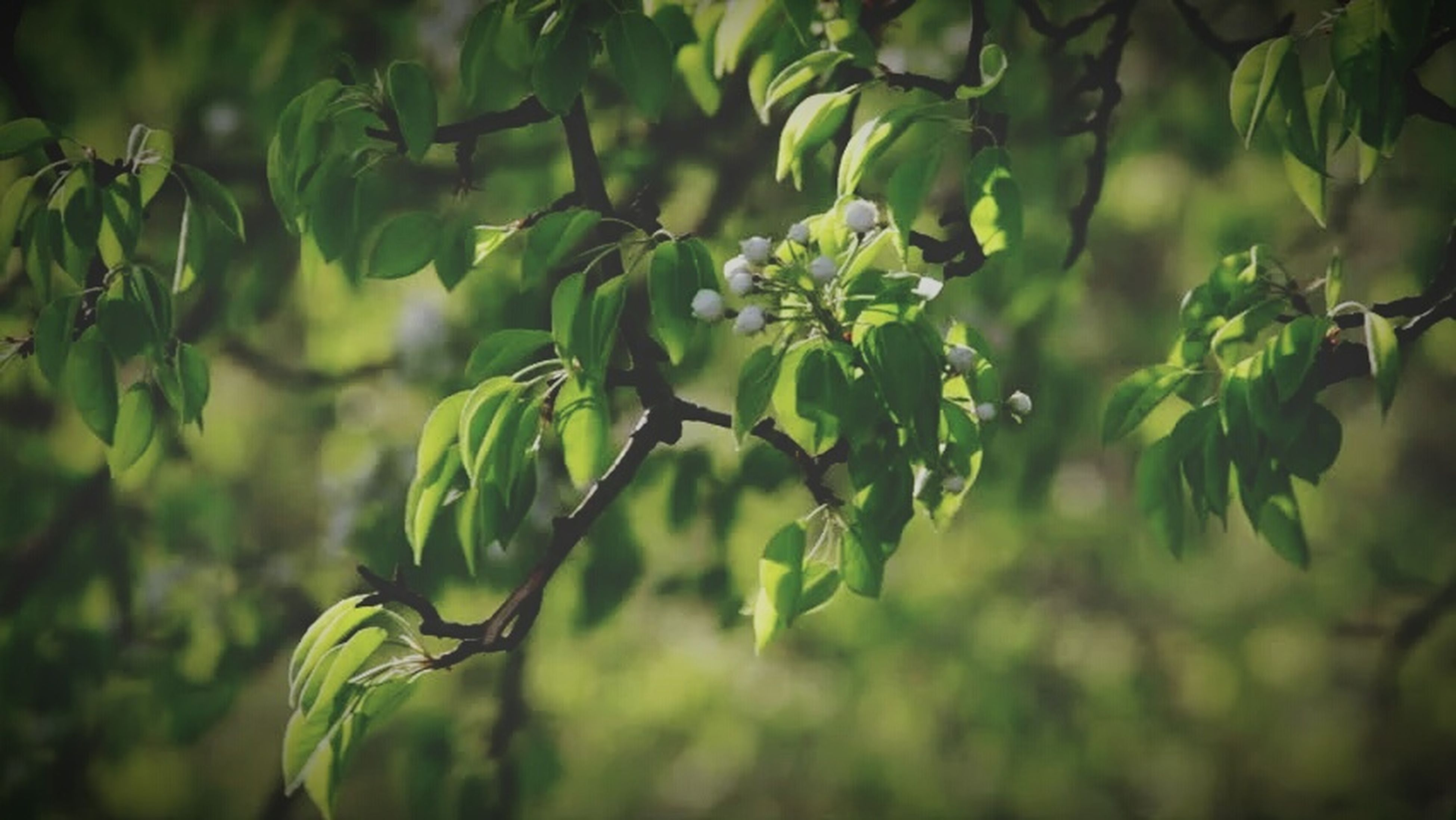 fruit, growth, green color, focus on foreground, nature, agriculture, close-up, tree, food and drink, outdoors, food, no people, freshness, healthy eating, day