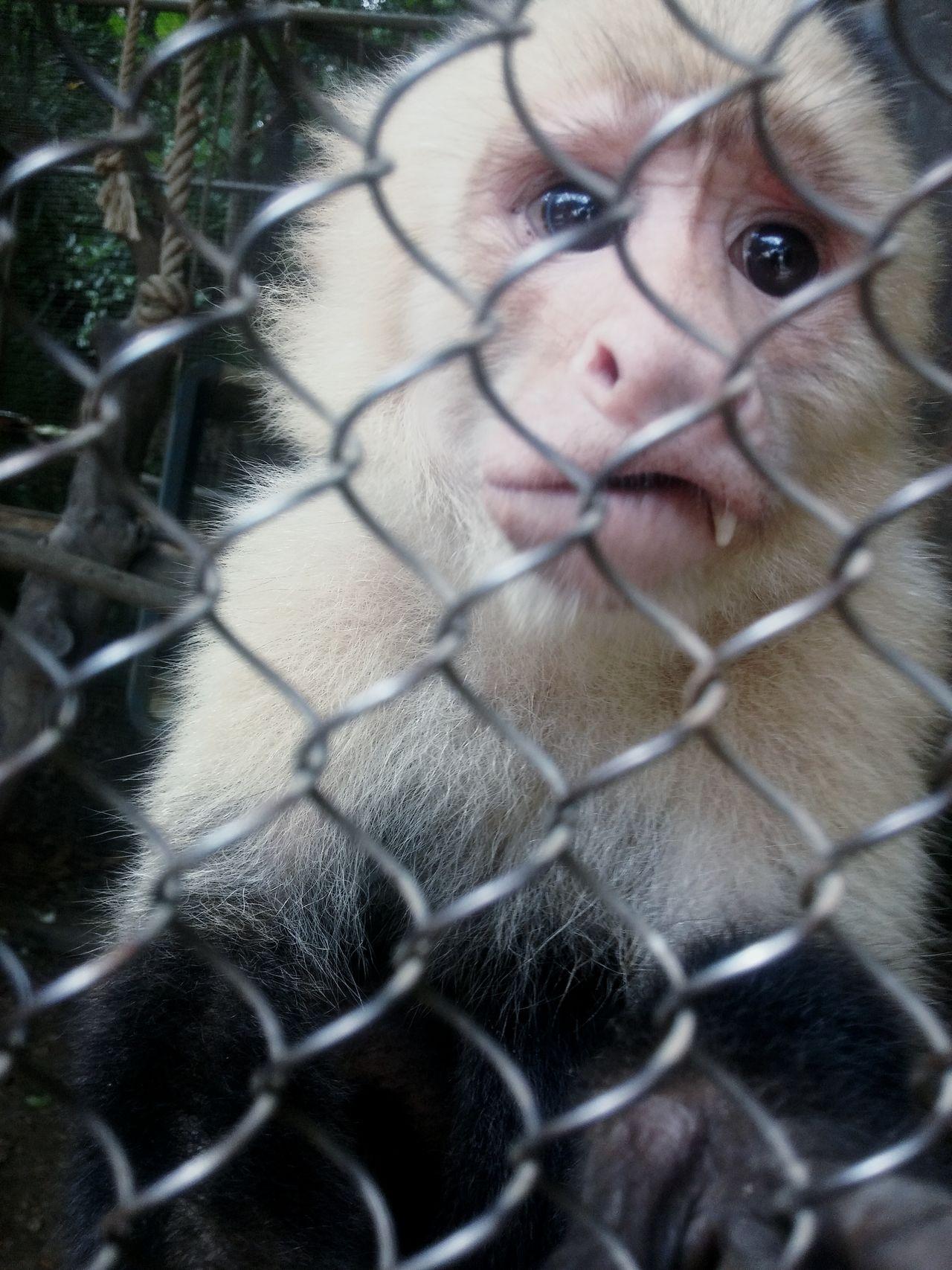 Depressing Caged Monkey Antizoo Exotic Animals Caged AnimalsDepressed Monkey Anti Animal Abuse Monkey Zoos Animals Animals In Captivity Sad