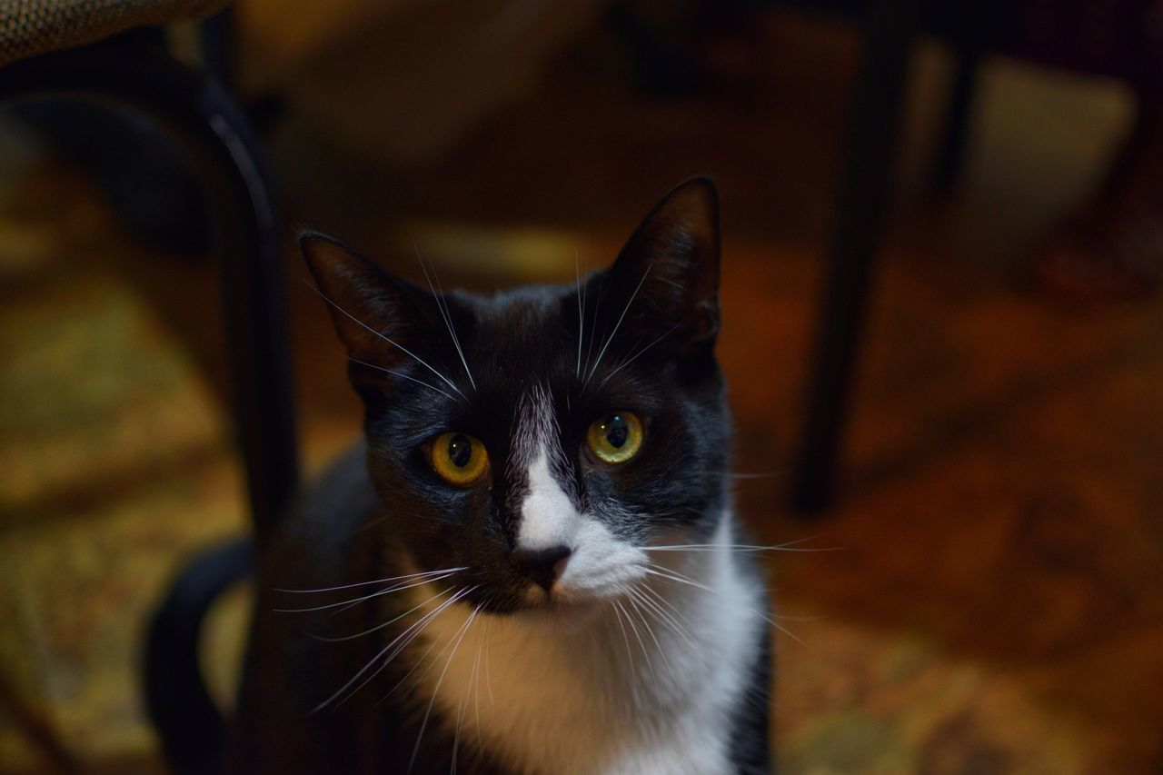 Domestic Cat Pets Domestic Animals Animal Themes One Animal Feline Focus On Foreground Mammal Whisker Portrait No People Indoors  Close-up Looking At Camera Yellow Eyes Day Cat Cats Cat Lovers Cats Of EyeEm Feeline