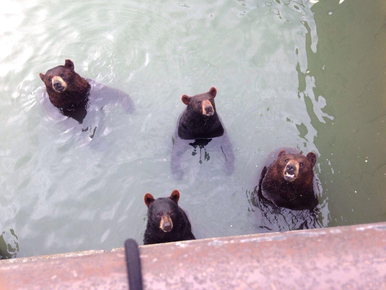Beautiful stock photos of niagara falls, Animal Themes, Bear, Four Animals, High Angle View