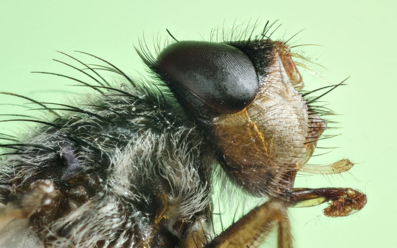 Close up housefly Fannia Canicularis Fly Macro Photography Animal Themes Animal Wildlife Animals In The Wild Close-up Day House Fly Housefly Insect Nature No People One Animal Outdoors