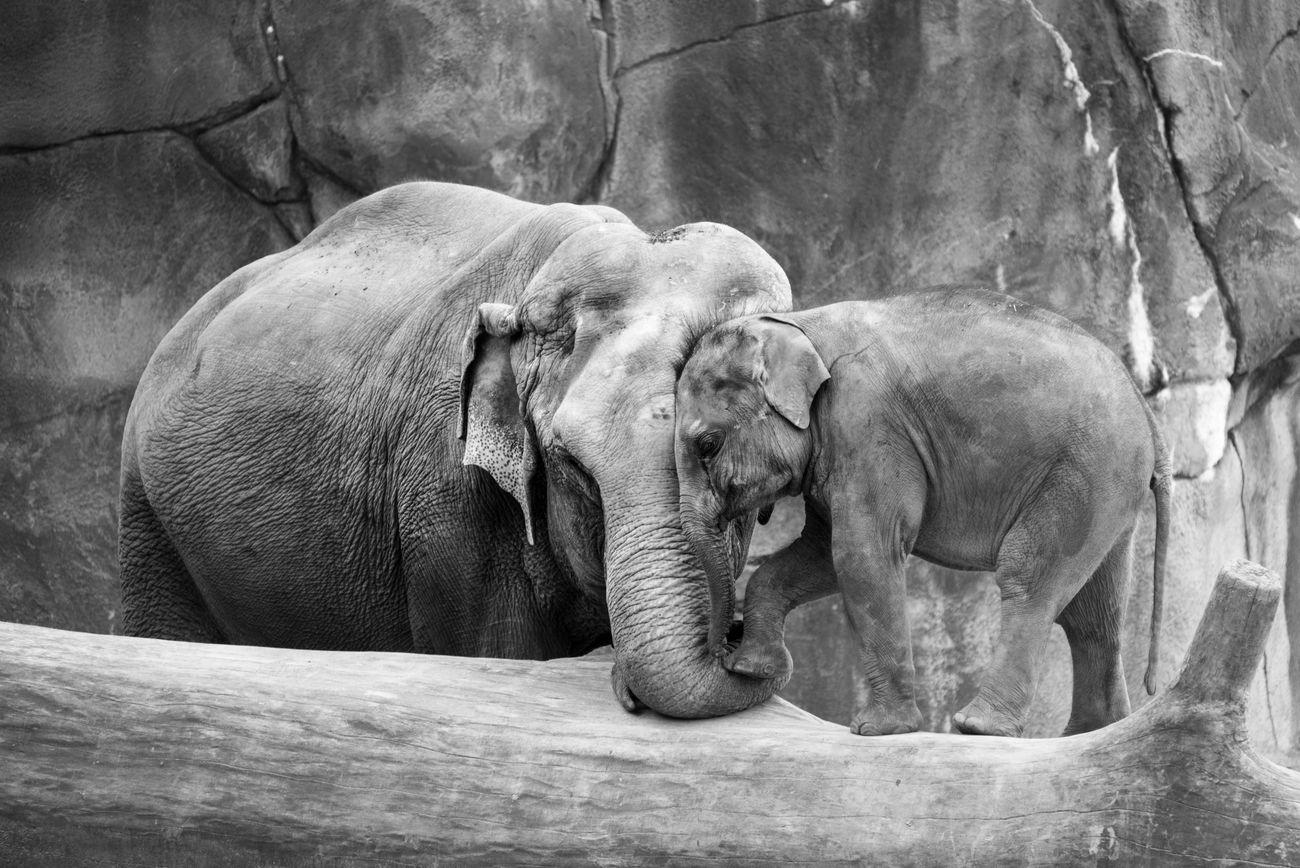African Elephant Animal Themes Animal Trunk Animal Wildlife Animals In The Wild Day Elephant Elephant Calf Mammal Nature No People Outdoors Safari Animals Tusk
