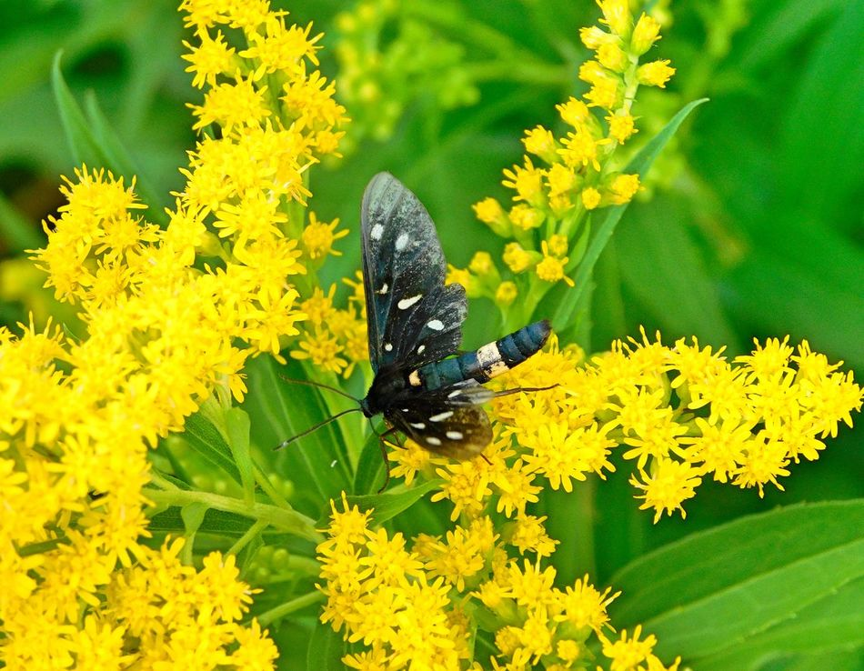 Amata Phegea Animal Themes Animals In The Wild Beauty In Nature Close-up Erebidae Flower Flower Head Focus On Foreground Freshness Growth In Bloom Insect Lepidopterans Nature One Animal Petal Plant Pollination Season  Springtime Symbiotic Relationship Vibrant Color Wildlife Yellow