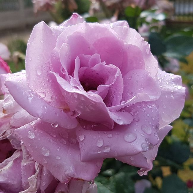 Flower Petal Nature Fragility Beauty In Nature Drop Flower Head Wet Freshness Focus On Foreground Pink Color Rain Close-up Plant Outdoors Growth Blooming Water No People Rainy Season Rose🌹 South Africa 🇿🇦 God's Handiwork  Creation Not Evolution