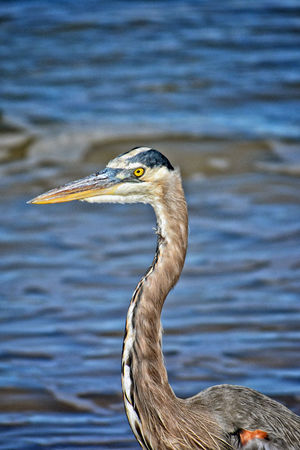 Golden Eye Animal Themes Animal Wildlife Animals In The Wild Beak Bird Close-up Day Gray Heron Heron Nature No People One Animal Outdoors Seaside Water Great Blue Heron Focus On Foreground Beauty In Nature