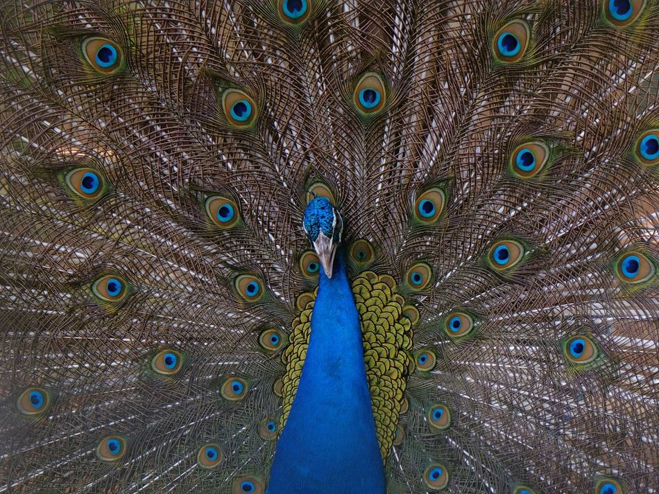 Beautiful stock photos of peacock,  Animal Wildlife,  Animals In The Wild,  Backgrounds,  Beak