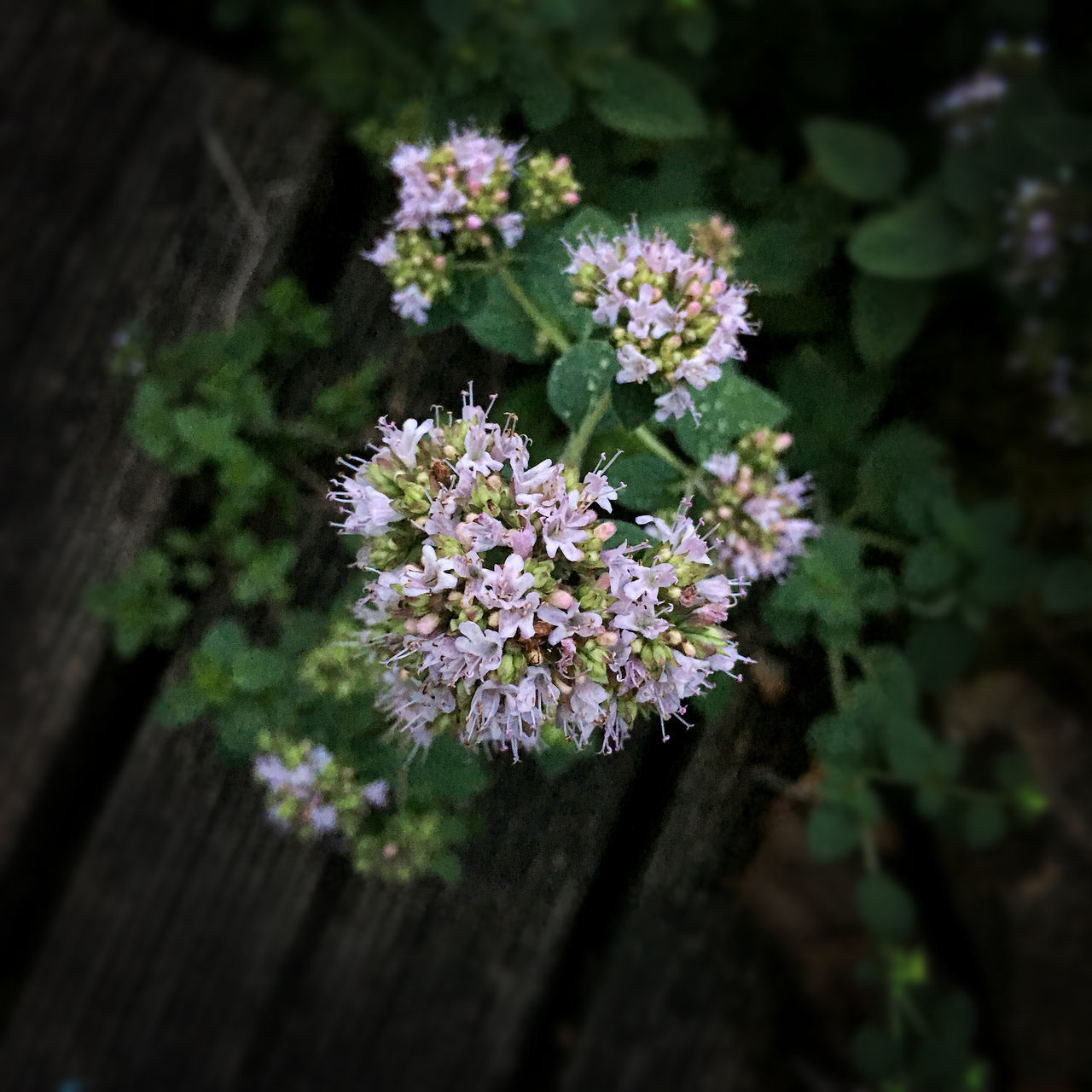 Beauty In Nature Blooming Botany Close-up Flower Focus On Foreground Fragility Getting Inspired Nature Origanum Vulgare Outdoors Selective Focus Silence Still Life Vertical View Wild Marjoram