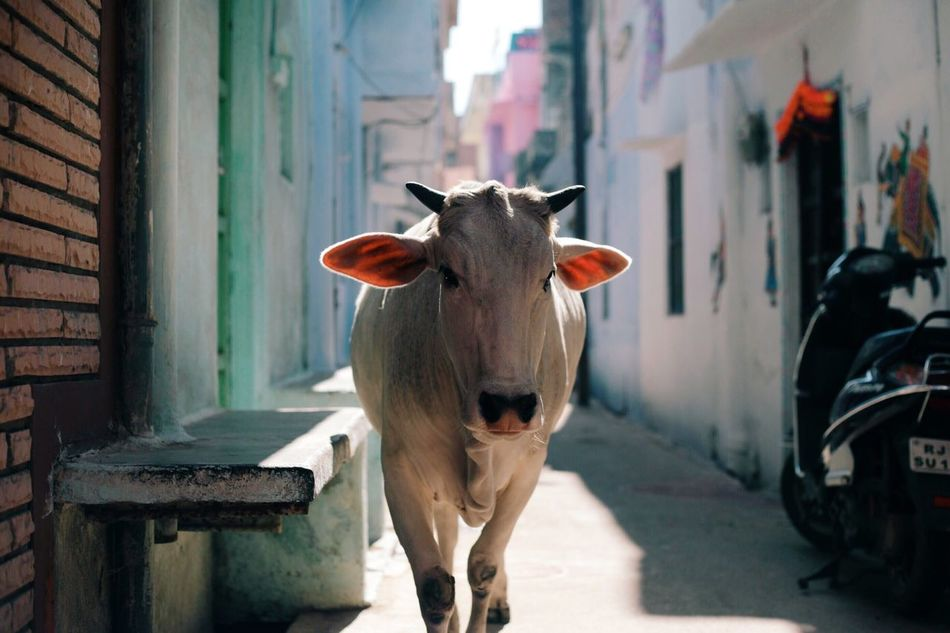 Beautiful stock photos of cow, Animal Themes, Architecture, Building Exterior, Built Structure
