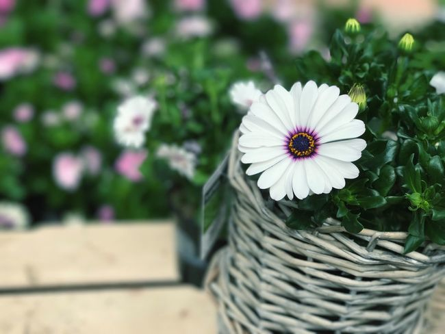 Flower Petal Nature Beauty In Nature Focus On Foreground Flower Head Growth Plant No People Day Fragility Outdoors Freshness Close-up Blooming Osteospermum