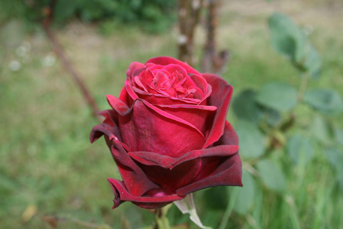 Flower Red Rose - Flower Nature Petal No People Plant Flower Head Beauty In Nature Close-up Day Outdoors Nature Beauty Taking Photos Besteyemphoto Hanging Out Check This Out Enjoying Life