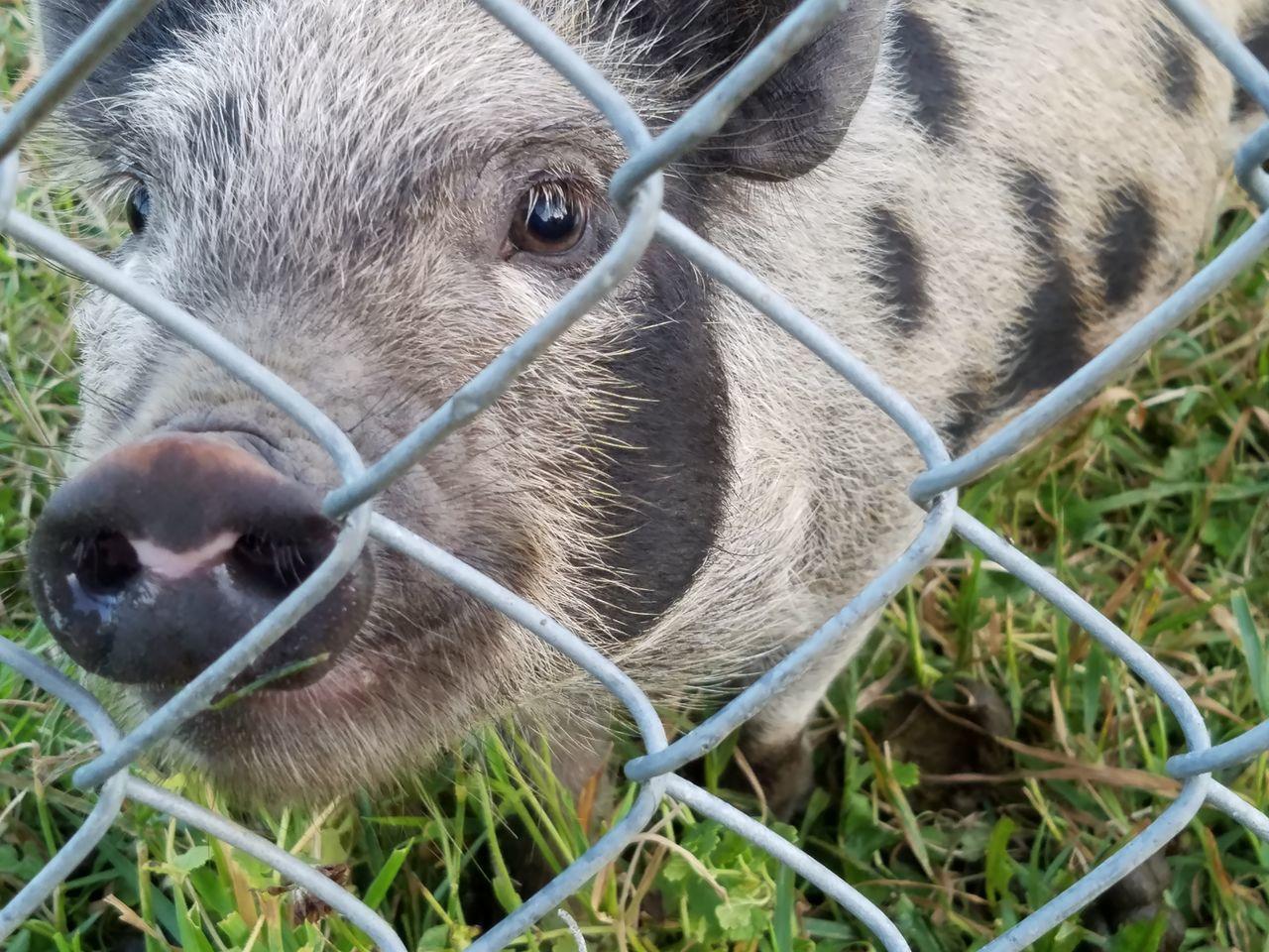 Kunekune Pig Piggy Minipigs Close-up Pig Nose Pig Selfie Life On The Farm Homesteading Meat Pig Gilt Spots Spotted Pig Orange And Black Pig Wet Nose