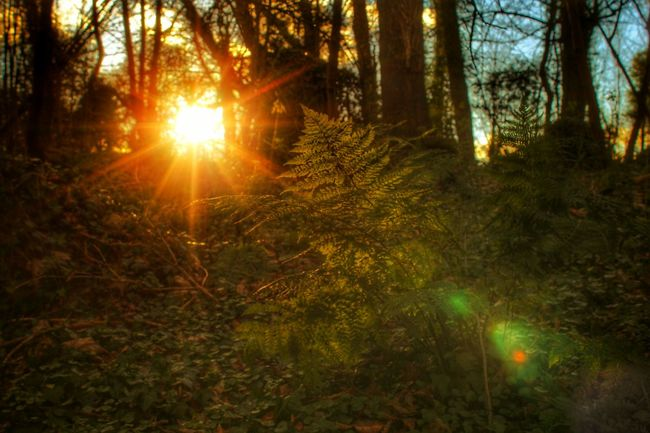 Afternoon Sun Breaks Through The Trees Woodland Sun Sun Beams Evening Sun Trees Fern Ferns Silhouette WoodLand Woodland Walk Lady Dixon Park Belfast Woodland Fern Natures Diversities EyeEm Gallery EyeEm Nature Lover EyeEm Best Shots - Sunsets + Sunrise EyeEm Best Shots - Nature Cast Shadows Backgrounds Background Light In The Forest Landscapes With WhiteWall Showing Imperfection The Great Outdoors - 2016 EyeEm Awards
