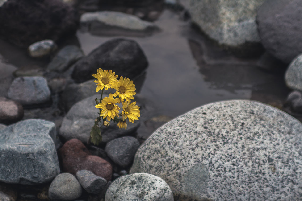 Close-Up Of Yellow Flowers Amidst Rocks In Water