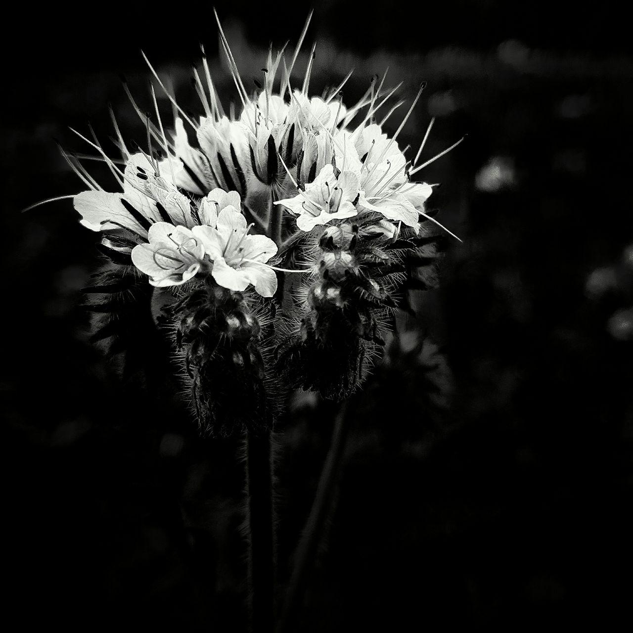 Black Background Outdoors No People Fragility Close-up Flower Flower Head Plant Nature Blackandwhite Black And White Photography Phacelia Tanacetifolia Black And White Friday