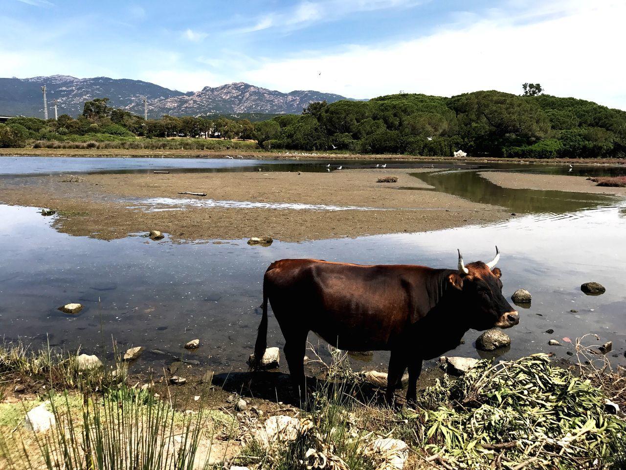 Corsica Cow Corse