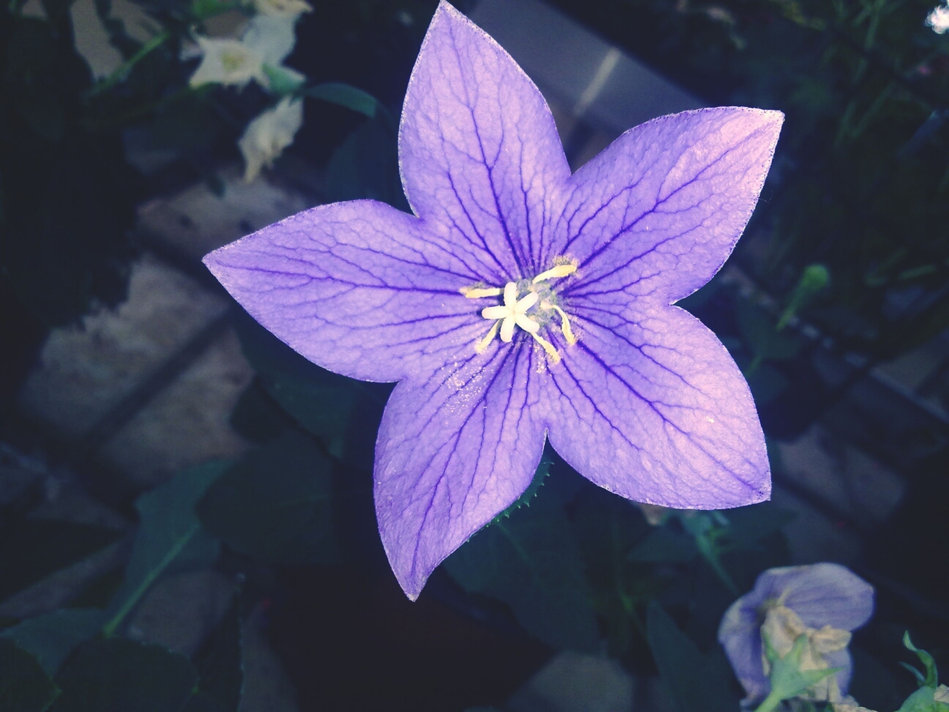 flower, petal, fragility, flower head, freshness, single flower, beauty in nature, growth, close-up, leaf, blooming, nature, pollen, plant, stamen, focus on foreground, high angle view, in bloom, purple, day