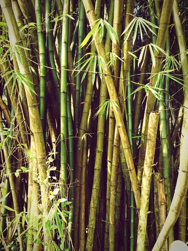 Shoots Wild Xperiaxz Xperiaxzcam Xperiaphotography Day Green Color No People Outdoors Close-up Beauty In Nature Nature Growth Bamboo Together Togetherness Tough Toughness