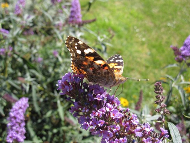 Flowers, Nature And Beauty Nature Photography Nature On Your Doorstep Nature Natures Diversities Nature's Diversities Butterfly Collection Butterflies Vanessa Cardui Butterfly Painted Lady Butterfly Painted Lady