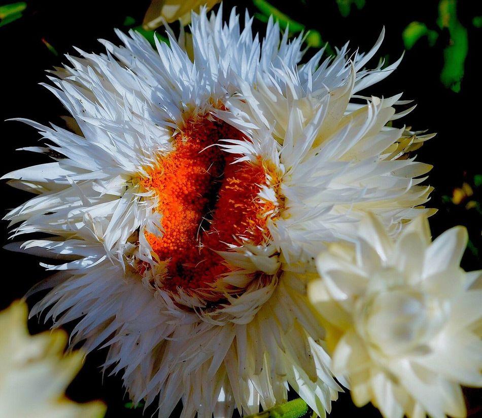 Showcase April Strawflower Macro_collection Naturephotography Macro Photography Garden Photography