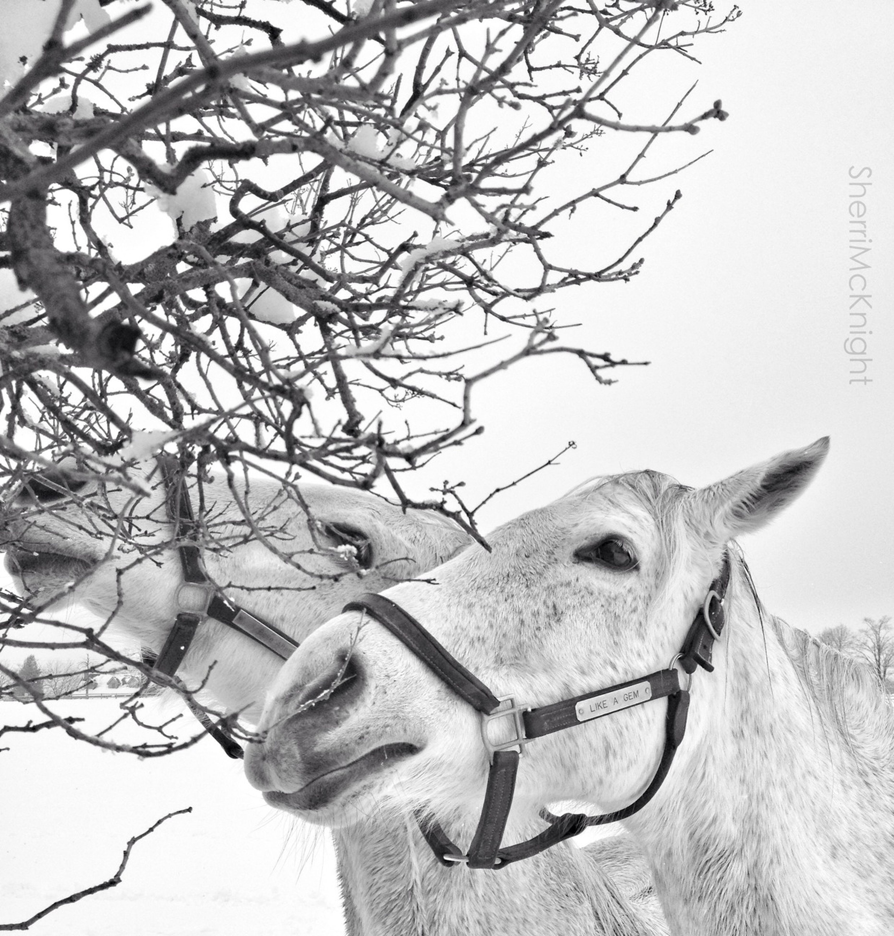 horse, animal themes, one animal, bare tree, livestock, clear sky, herbivorous, mammal, working animal, art and craft, outdoors, day, art, sky, tree, sculpture, part of, horned, bridle, animal representation