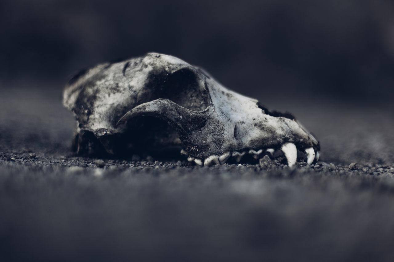 Beautiful stock photos of totenkopf,  Anatomy,  Animal Body Part,  Animal Bone,  Animal Head