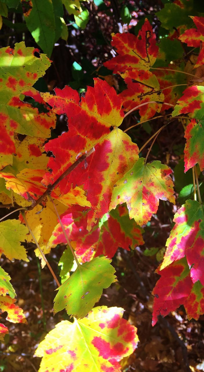 leaf, autumn, change, nature, beauty in nature, growth, outdoors, maple leaf, no people, day, tree, maple tree, maple, tranquility, close-up, branch, scenics, fragility, freshness