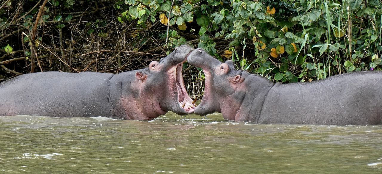 Adult Animal Themes Animal Wildlife Flusspferd Grass Hippo Hippopotamus Hippopotamus Hippotamus  Lying Down Mammal Nature Nilpferd Outdoors Relaxation St Lucia Wetland Park Sunlight Togetherness Water