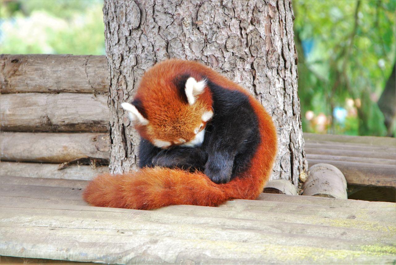 Red Panda Tree Animals In The Wild Nature Outdoors Day No People Panda - Animal Mammal One Animal Animal Themes Washing Pelt Fur Furry
