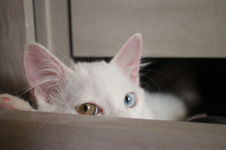 Angoracat Cat Gato Neko