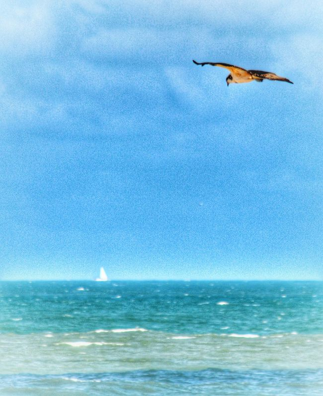 Osprey Flying Sailing Boat White Caps Colors Of The Sea Horizon Over Water Sea Flying Blue Animals In The Wild Mid-air Spread Wings