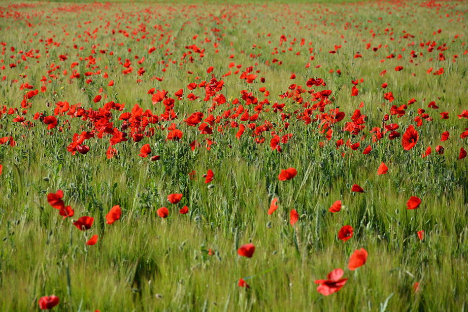 Nature's Diversities poppies poppy flowers red green colors grass field nature beauty landscape plants spring Fine Art Photography Colour Of Life Miles Away