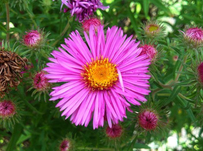 Planten Un Blomen Pink Flower Yellow Green Nature Flower Head Flowerpower Flowers, Nature And Beauty EyeEm Best Shots Jopesfotos - Nature
