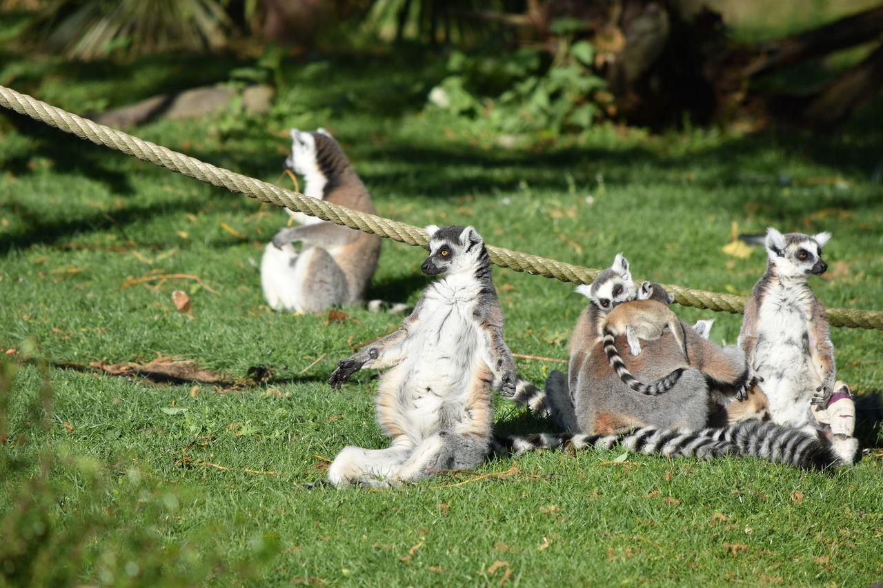 MAKI CATTA Animal Themes Beauval Day Domestic Animals Field Full Length Grass Lemur Catta Lémuridés -Varecia Variegata Subcincta MAKI CATTA Mammal Nature No People Outdoors Zoology