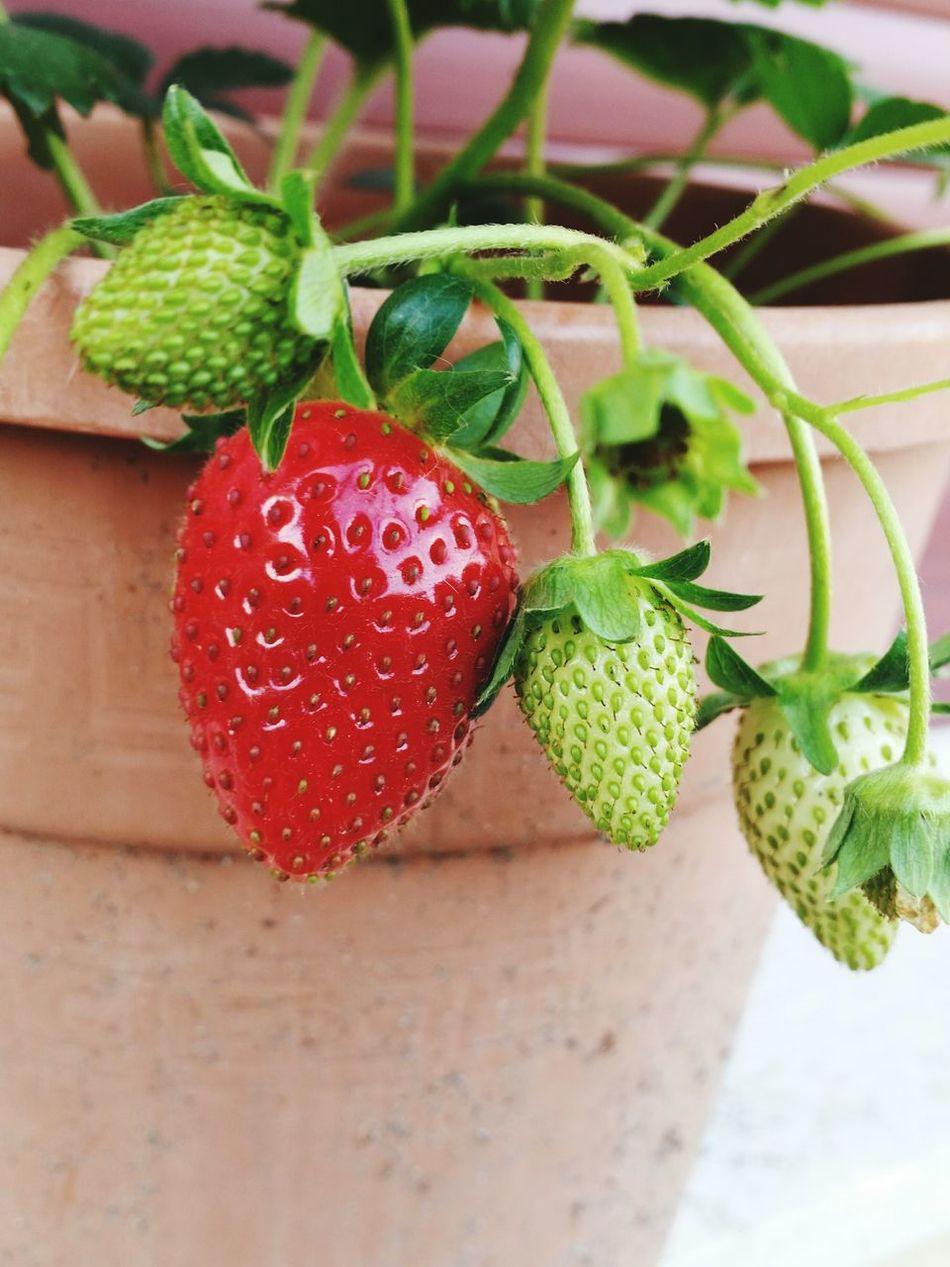 Fresas Fragole Pot Maduración Strawberries