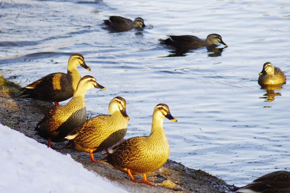 Bird Animals In The Wild Animal Family Animal Themes Animal Wildlife Large Group Of Animals Duck Nature Water No People Young Bird Swimming Geese Outdoors Togetherness Five Animals Day Gosling