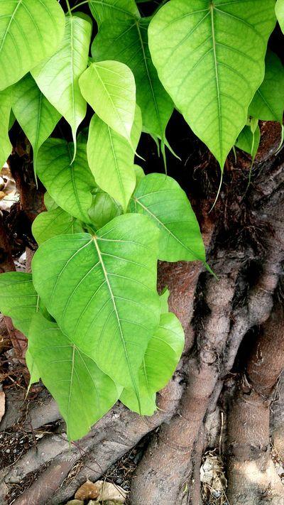 Bodhitree Pho Leaves Tree Green Buddhist Bangkok Nature Beautiful Ontheway