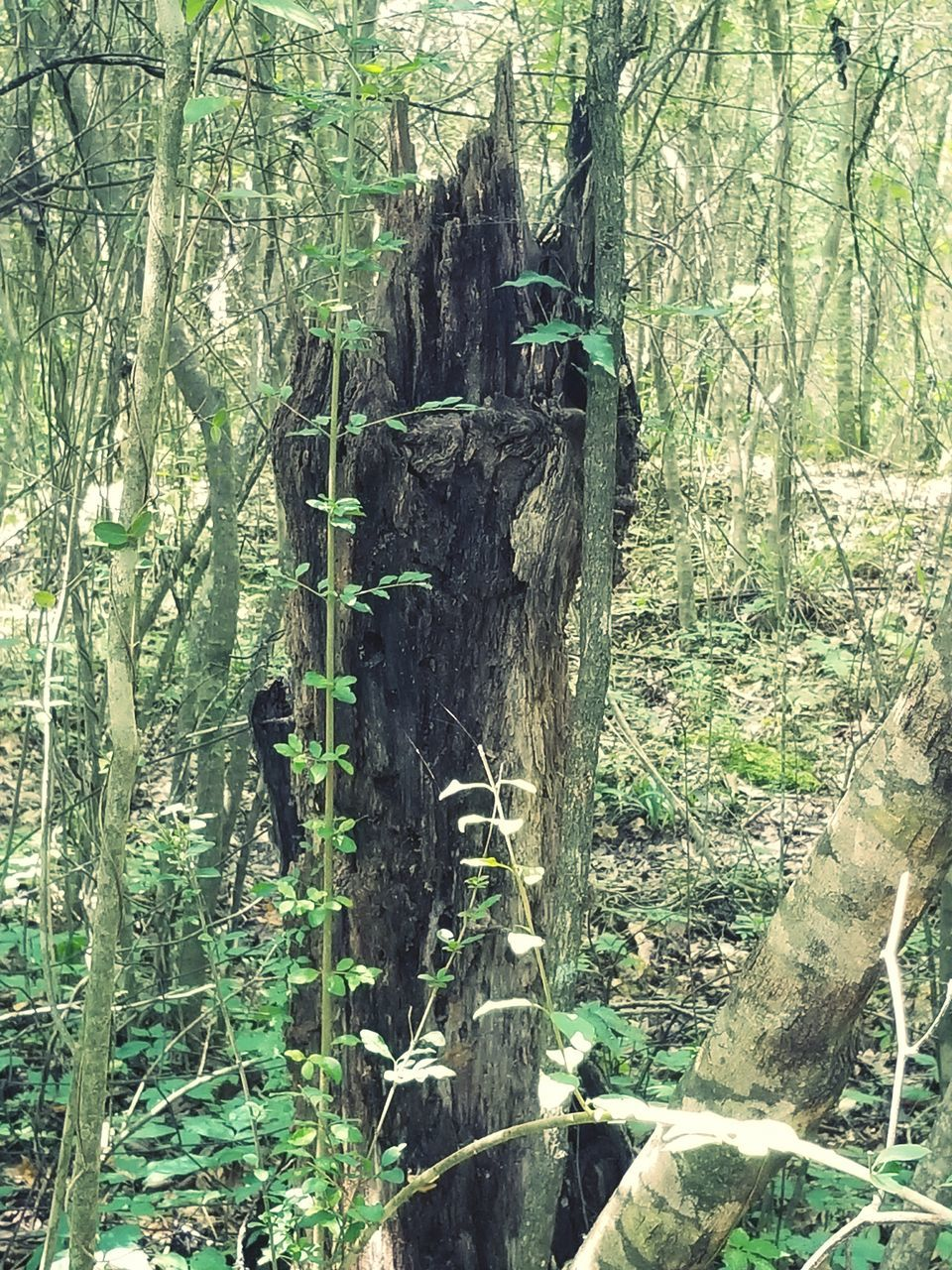 tree, forest, tree trunk, nature, growth, day, outdoors, beauty in nature, tranquility, bamboo - plant, bamboo grove, landscape, no people
