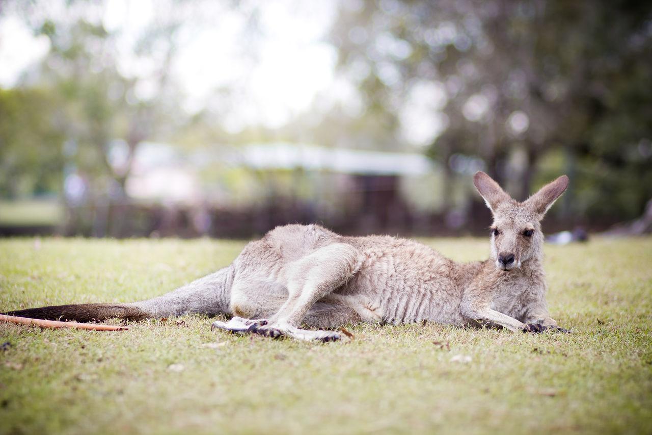Beautiful stock photos of kangaroo, Animal Themes, Animals In The Wild, Day, Field