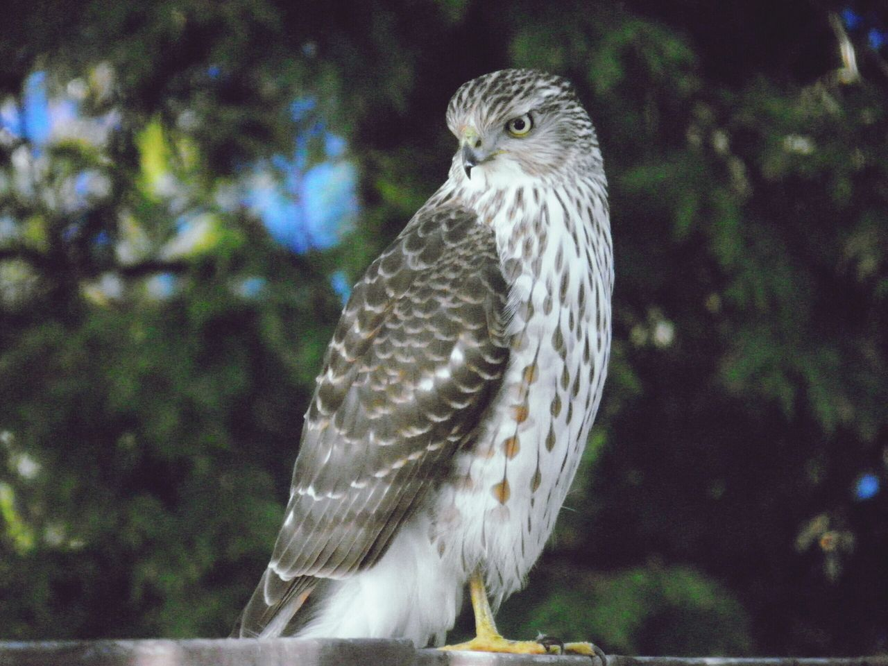 bird, one animal, animal themes, animals in the wild, animal wildlife, bird of prey, focus on foreground, no people, close-up, day, nature, tree, outdoors, perching
