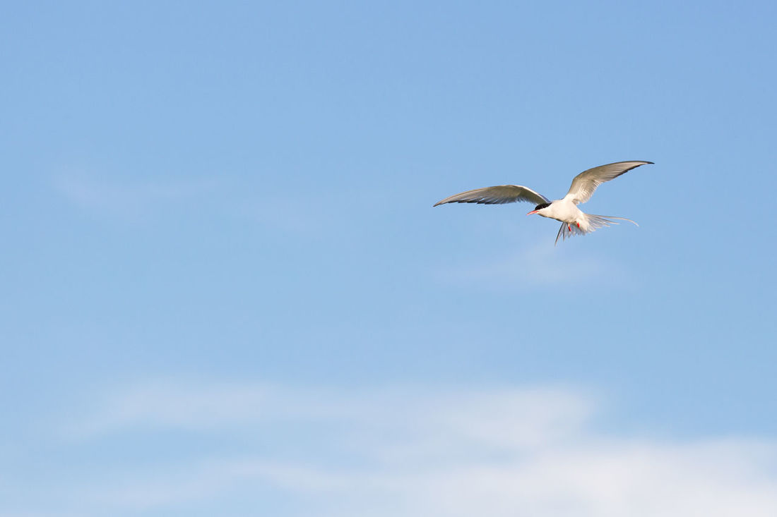 Aggressive arctic tern flying high preparing an attack Aggression  Animal Animal Themes Animal Wildlife Animals In The Wild Arctic Artic Tern Beauty In Nature Bird Clear Sky Copy Space Day Flying Freedom Mid-air No People One Animal Outdoors Sky Spread Wings Tern Vulnerability  Wilderness
