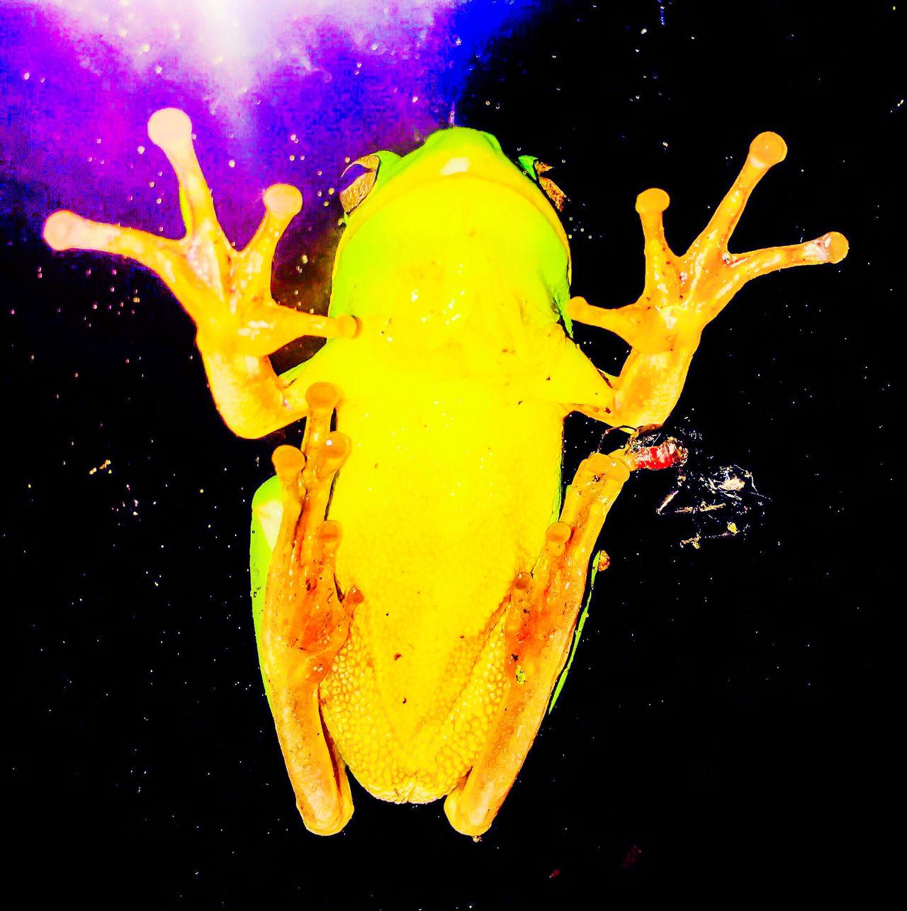 Visitor on the glass door With His Dinner Attached To His Left Leg Treefrog Night Photography Frog Black Background Nature Science Photos Nature Greenfrog Animal Themes Southcarolina