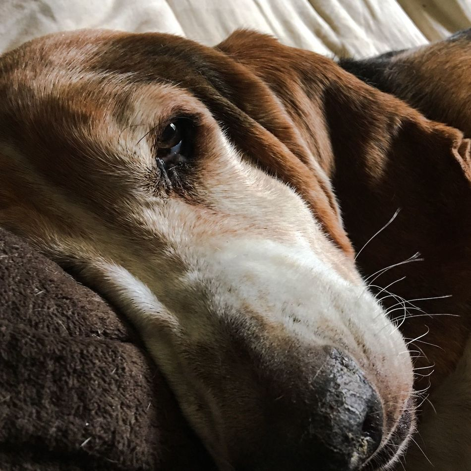 This handsome hound named Cooper Check This Out Ilovebassethounds Livinandlovinlife Bassetworld Myseniorhound Bassetmoments Bassetphotography Comfy And Cozy Iphonephotography Posing For The Camera Color Photography Adogslife