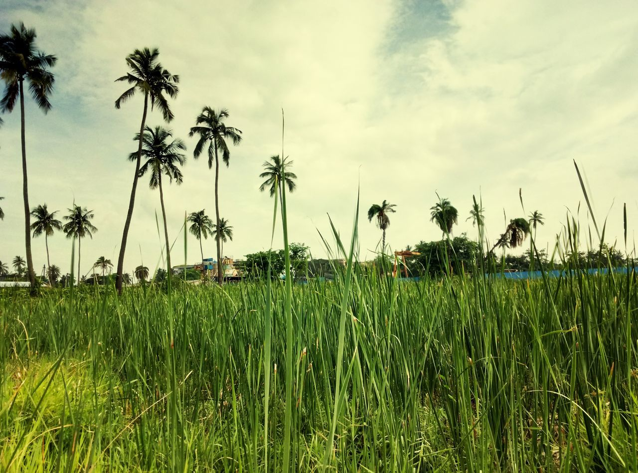 Palm Tree Cloud - Sky Green Color Landscape No People Beauty In Nature