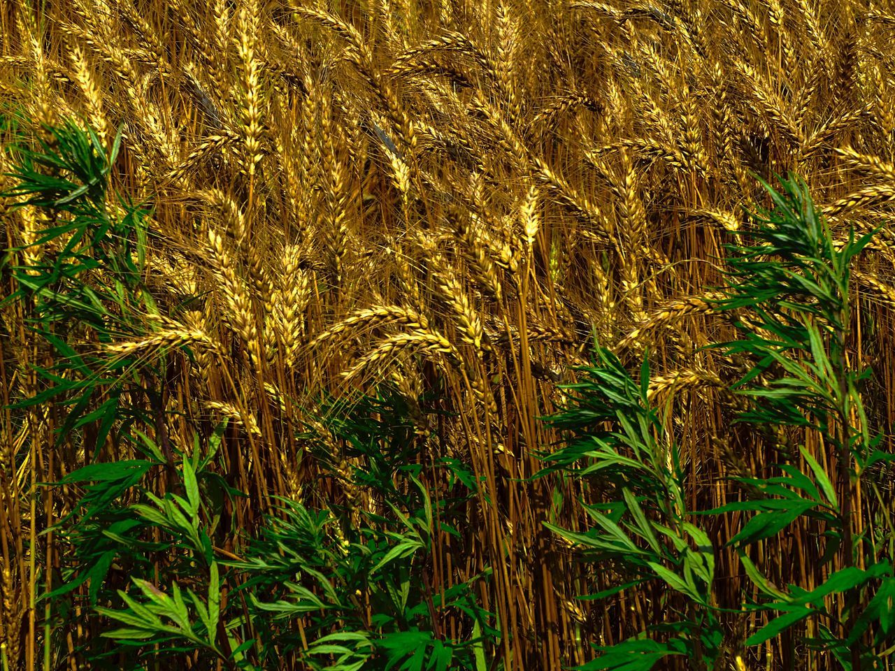 growth, agriculture, field, nature, cereal plant, green color, farm, grass, crop, plant, no people, full frame, wheat, day, outdoors, backgrounds, beauty in nature, tranquility, rural scene, ear of wheat, close-up, freshness